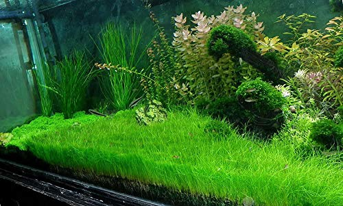 Dwarf Hairgrass Bunch Eleocharis Parvula Aquatic Aquarium Plants BUY2GET1FREE
