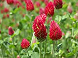 Crimson Clover Seeds,Improve Your Garden Soil,Cover-Crop,1 pound Raw seed