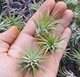 3 Pack of Tillandsia Ionantha Rubra Airplant