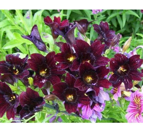 - Seeds Chilean Black Painted Tongue Salpiglossis Sinuata Paisley Flower Get 25 Seeds #LC01YN