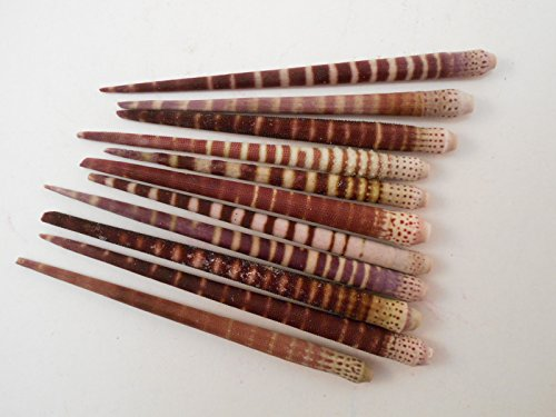 50 Beautiful Tiger Sea Urchin Spines  Undrilled  1    2  Crafting Beach Crafts Nautical Jewelry Making