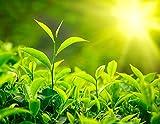 "Camellia Sinensis 4"" Pot Beautiful Live Tea Plant Black White Green & Oolong"