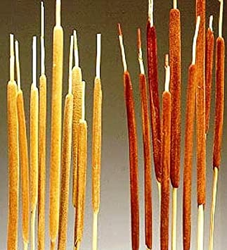 Worth Imports 3030 26 Pencil Cattail Bunch of 25 Light TAN