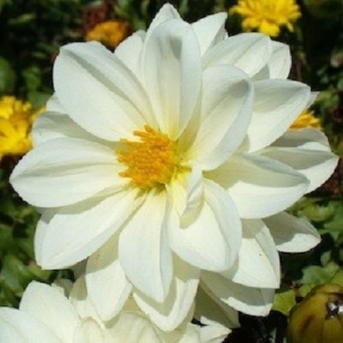 Amazon 15 Dahlia Pure Whiteflower Seeds Garden Outdoor