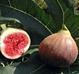 Fig Dwarf Live Plant Trees Ficus Carica Edible Sweet Fresh plant 2'' Garden Outdoor New