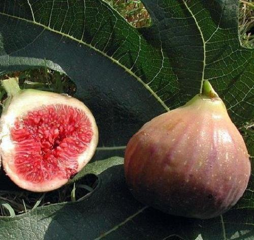 Fig Dwarf Live Plant Trees Ficus Carica Edible Sweet Fresh plant 2'' Garden Outdoor New by gk_usa_mall