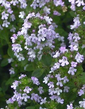 1000 LEMON THYME Thymus Citriodorus Flower Herb Seeds by Seedville