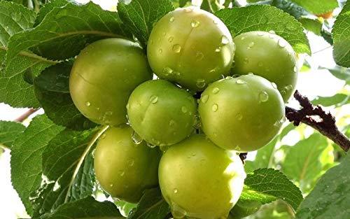 (Dwarf Green Gage Plum Tree - Rare Green Dessert Plum with Endless Culinary)