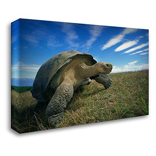 Galapagos Tortoise on Caldera Rim, Alcedo Volcano, Isabella Island, Galapagos Islands, Ecuador 40x28 Gallery Wrapped Stretched Canvas Art by De Roy, Tui ()
