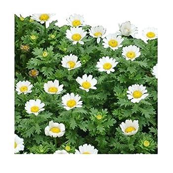 5000 Creeping Daisy Seeds - Annual, Full Sun Daisy