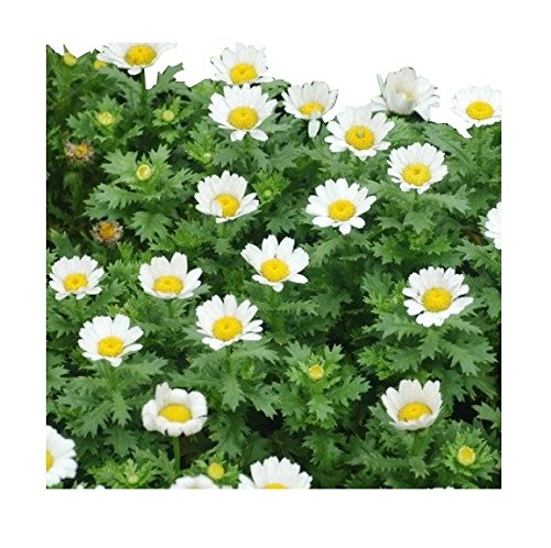 6000 Creeping Daisy Seeds - Annual, Full Sun Daisy ()