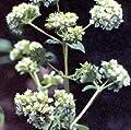 Marjoram Sweet Marjorana hortensis 2,500 seeds