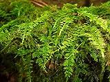 10 species - Variety Pack Moss Terrarium Garden Reptile Vivarium