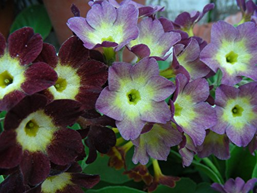 Garden Or Border Auricula (Hybrid Primula) Seeds : Primrose Path (Primrose Border)