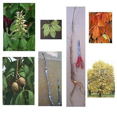 3 Set - Ohio Buckeye Tree 12+in, Fast Growing Shade, Nice Fall Color Hardwood
