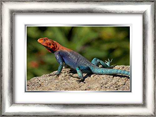 Red-Headed Rock Agama Male Lizard Sunning on Rock, Native to Africa 24x17 Silver Contemporary Wood Framed and Double Matted Art Print by San Diego Zoo -