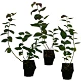 cranberry moosbeere 3 pflanzen garten. Black Bedroom Furniture Sets. Home Design Ideas
