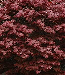 Amazon.com : Japanese Maple Acer palmatum Tree - 3.5