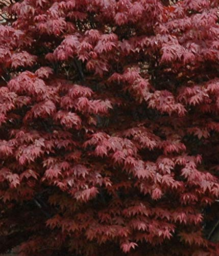 Japanese Maple Acer palmatum Tree - 3.5'' potted 1' - 2' tall Healthy Plant - 2 pack by Growers Solution by Growers Solution (Image #4)