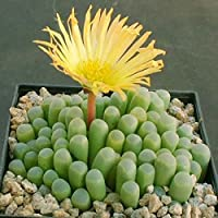 Calli 100pcs Fenestraria aurantiaca semillas jardín plantas suculentas