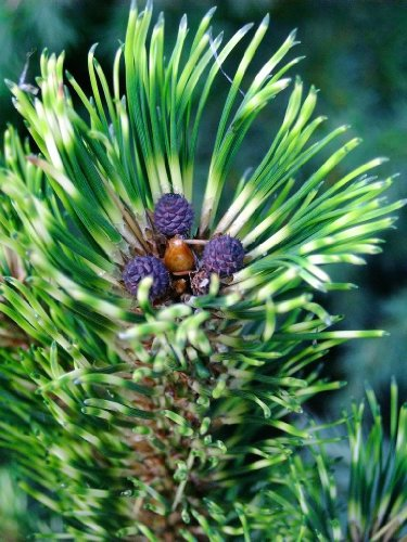 Sunshine Mugo Pine - A dragon Eye Pine with Vivid Purple Cones 1 - Year Live Plant