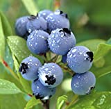 1 Duke Blueberry Plant - 2 Year Organic Grown - Ready for Spring Planting