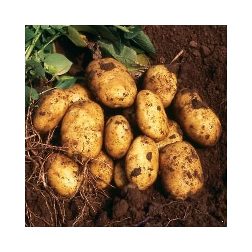 SEED POTATOES - 1 lb. Nicola Organic Grown Non GMO Virus & Chemical Free Ready for Spring Planting