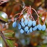 Rusty Blackhaw Tree Seeds (Viburnum rufidulum) 20+Seeds (20 Seeds)