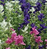 Legend Online Garden Seeds Flower Salvia Marble Arch Mix II D1845SALV (Blue, White, Pink) 100 Open Pollinated Seeds