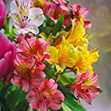 Outsidepride Alstromeria Peruvian Lily Flower Seed - 200 Seeds