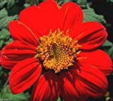 Mexican Sunflower Seeds - Red- (Tithonia Speciosa Red Torch) 50 Seeds !