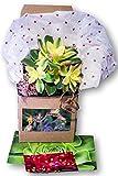 "Fat Plants San Diego Valentines Day Aeonium Kiwi Succulent Plant, 4"" Pot"