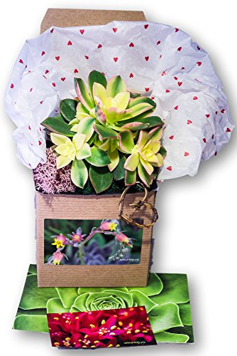 Fat-Plants-San-Diego-Valentines-Day-Aeonium-Kiwi-Succulent-Plant-4-Pot