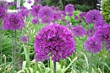 20 Purple Sensation Allium Bulbs--4-6 Inch Flower Diameter!