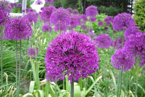 20-Purple-Sensation-Allium-Bulbs-4-6-Inch-Flower-Diameter