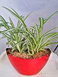 Jmbamboo - Ocean Spider Plant - Easy to Grow - Cleans the Air - With Pot 9x5'' Inches 5'' Tall