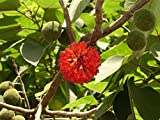 5 Seeds of Broussonetia Papyrifera Paper Mulberry Tree