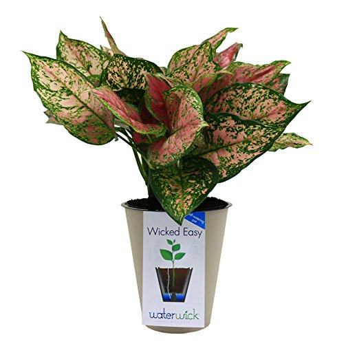 Costa Farms Anyanmanee Red Colorful Aglaonema (Chinese Evergreen) Live Indoor Plant in Self-Watering Waterwick Planter, Taupe