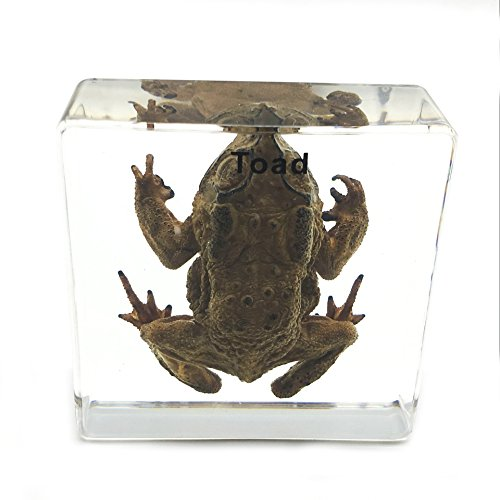 Toad Specimen Paperweight Science Education Specimens