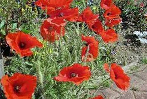 Shoppy Star Germinación de las semillas: Amapola de maíz de 1000 semillas orgánicas, flor de color rojo brillante,...