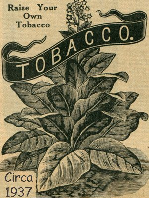 Connecticut Broadleaf Tobacco Seeds ~100 seeds (Wrapper Tobacco)
