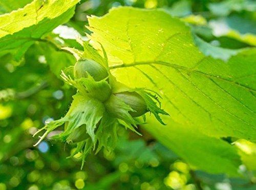 Hazel 'Cosford Cob' Tree Corylus Cobnut 3-4ft 5L Pot, Multistemmed Strong Hazelnut Plant 3fatpigs® beechwoodtrees 3fatpigs®