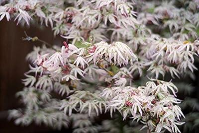 FLOATING CLOUD JAPANESE MAPLE Acer palmatum Ukigumo 2 - YEAR TREE