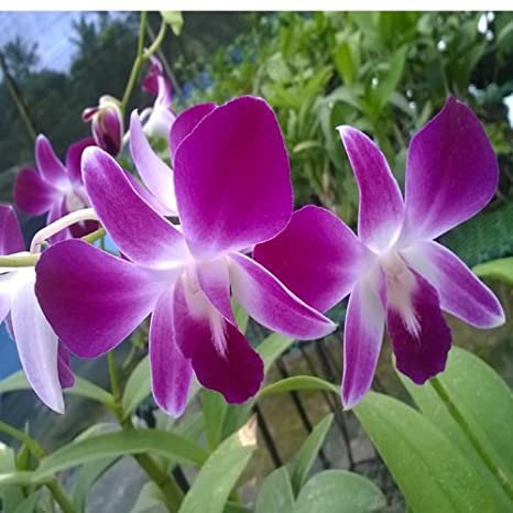 Kolkata Orchid Online Mother Dendrobium Orchid Live Plant Bloom Condition Exotic Orchid Flower 20 Inches Hight Approx Amazon In Garden Outdoors