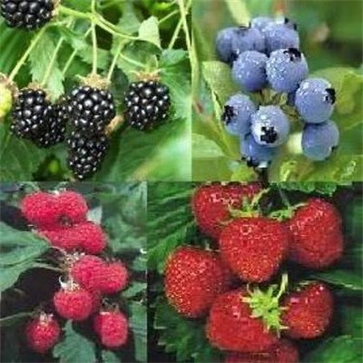 Promotion! 5 kinds 200 / pack, Blueberry Seeds BONSAI series tea Heirloom Blue Berry fresh seeds, Edible Fruit Seeds