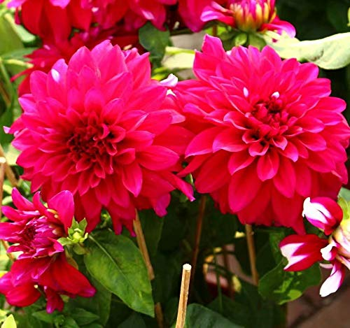 Magenta Dahlia Bulbs -3 Bulbs Perennials Dahlia Flower Bulbs - Summer Blooms Garden Border Addition