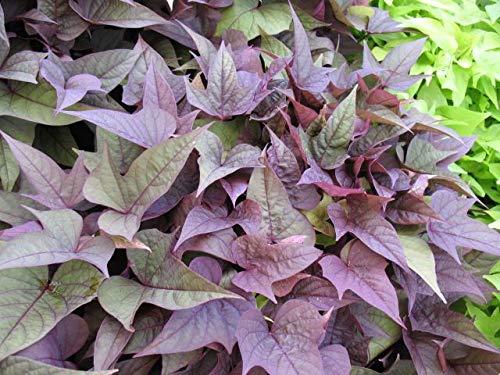 (Ipomoea - Sweet Potato Vine - Rusty Red - 6 Live Starter Plants - Plugs)