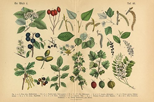 (Forest Fruit Trees and Plants Victorian Botanical Art Print Mural Giant Poster 54x36 inch)