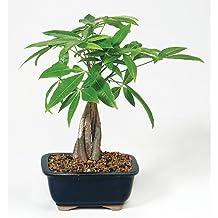 9Greenbox DT2312MTG3 Money Tree Bonsai with Ceramic Pot