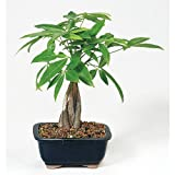 9Greenbox DT2312MTG3 Money Tree Bonsai with Ceramic Pot